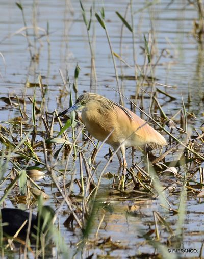 Squacco Heron by Francisco Jiménez Franco©