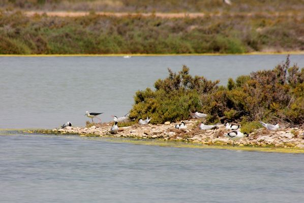 Avocets, Black winged Stilt and Common Terns by Mary Brazier©