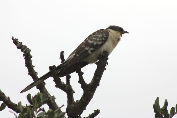 Great Spotted Cuckoo by Mary Brazier©