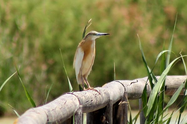 Squacco Heron by Mary Brazier©