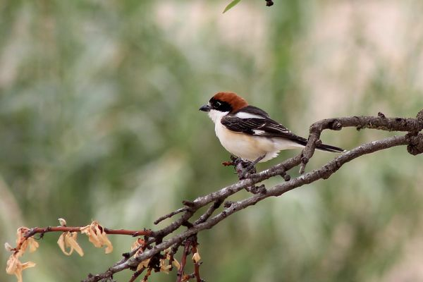 Woodchat Shrike by John Brazier©