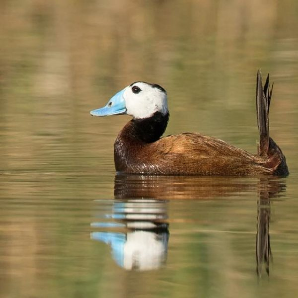 White headed Duck by Paul Coombes©