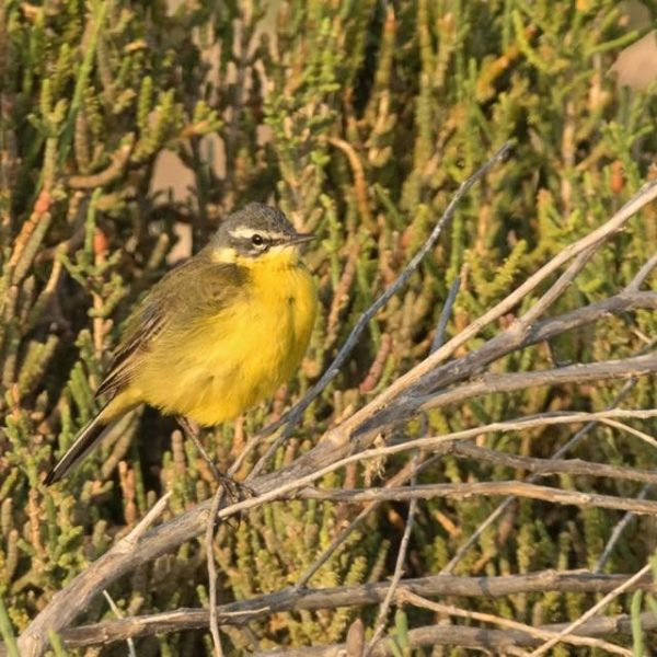 Yellow Wagtail by Paul Coombes©