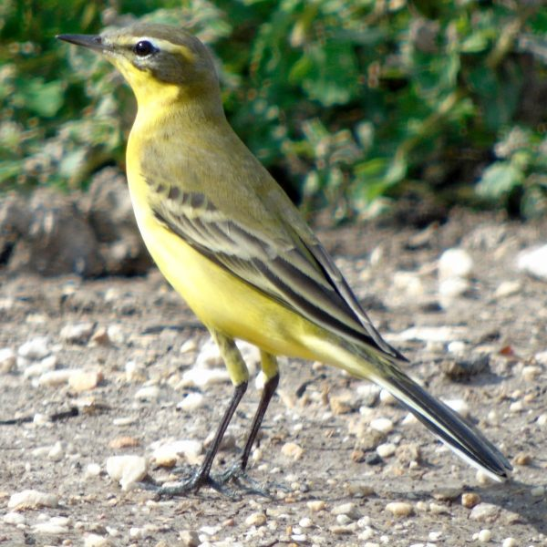 Yellow Wagtail by Greta Owen©