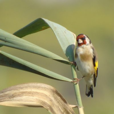 Goldfinch by Greta Owen©