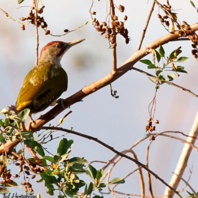 Iberian Green Woodpecker by Edward Humphreys©