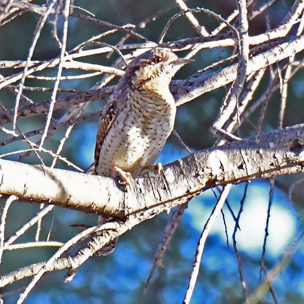 Wryneck by Mark Etheridge©