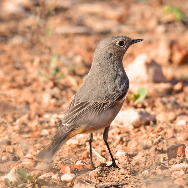 Black Redstart (female) by Mark Etheridge©