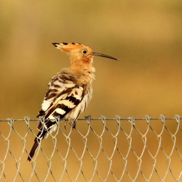 Hoopoe by Paula Sykes©