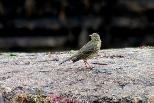 Rock Pipit by Mary Brazier©
