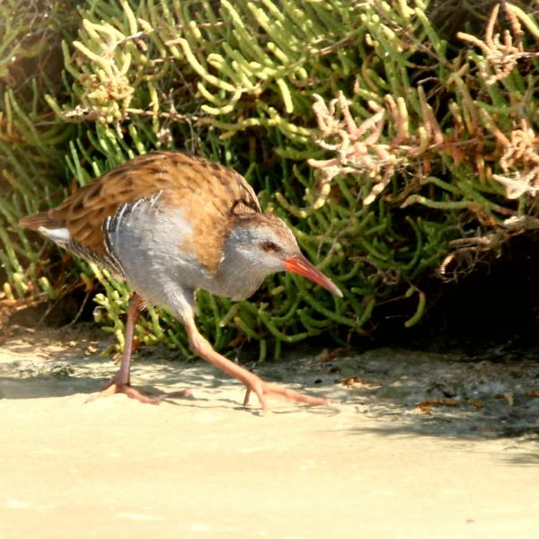 Water Rail by Paula Sykes©