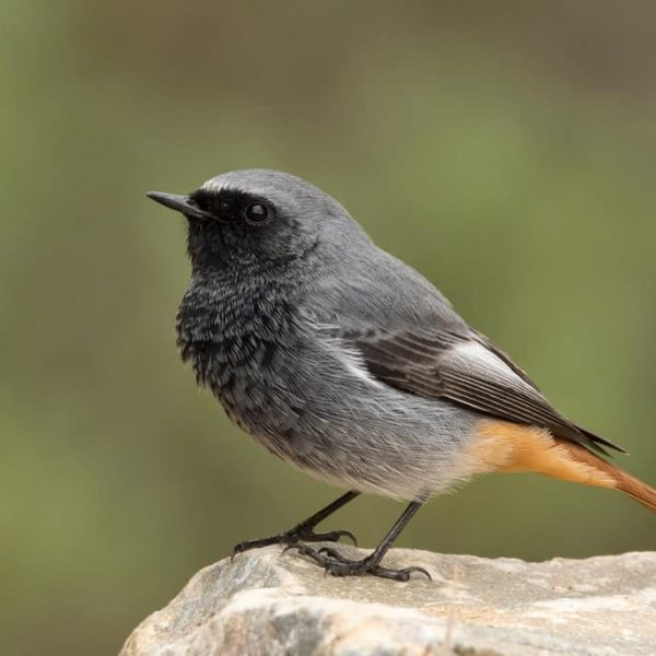 Black Redstart by Paul Coombes©