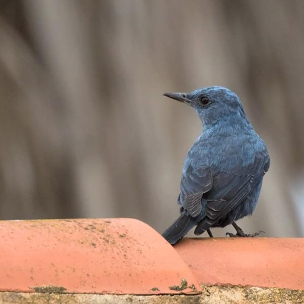 Blue Rock Thrush by Paul Coombes©