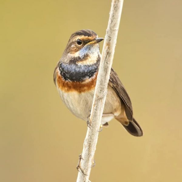 Bluethroat by Paul Coombes©