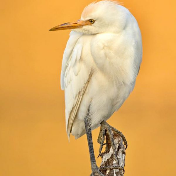 Cattle Egret by Paul Coombes©