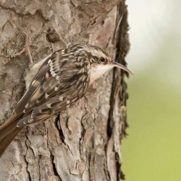 Short toed Treecreeper by Paul Coombes©