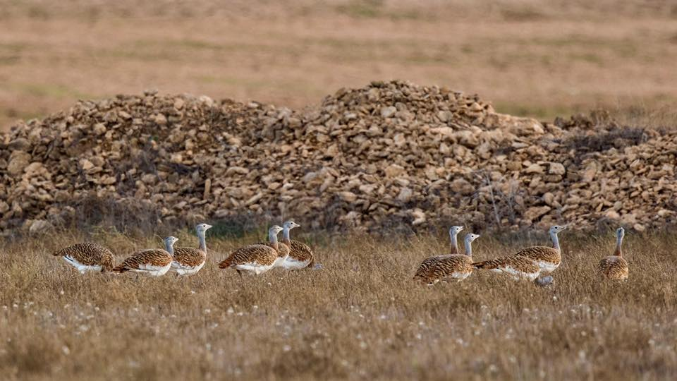 Great Bustards by Paul Coombes©
